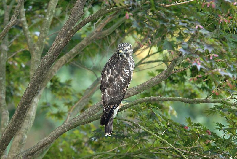 Hawk 20