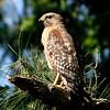 Hawk 26