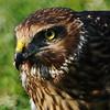Hawk 81