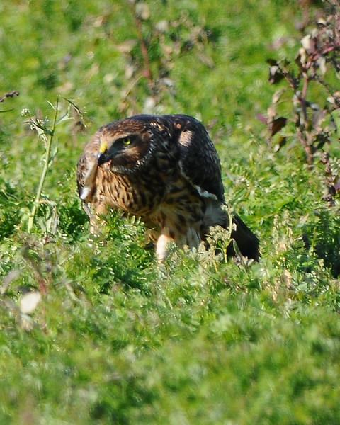 Hawk 58