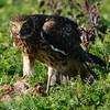 Hawk 82
