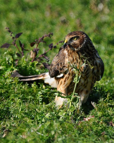 Hawk 72
