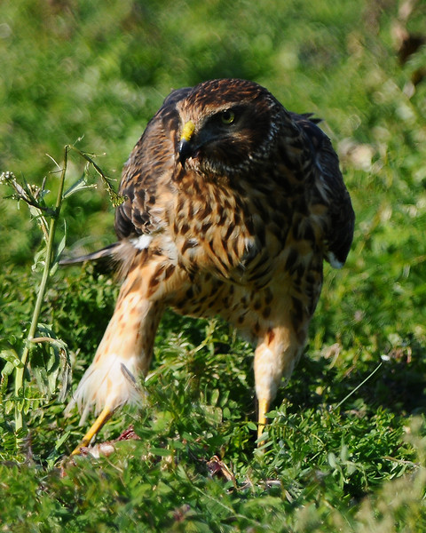 Hawk 71