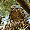 Hawk 10