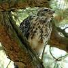 Hawk 18