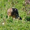 Hawk 41