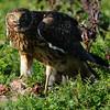 Hawk 91
