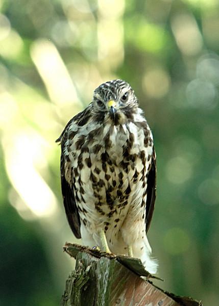 Hawk 21