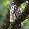 Hawk 25
