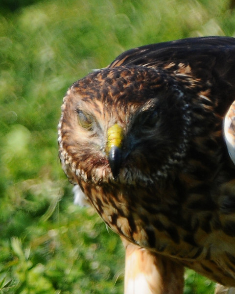 Hawk 77