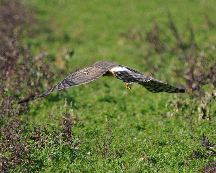 Hawk 52