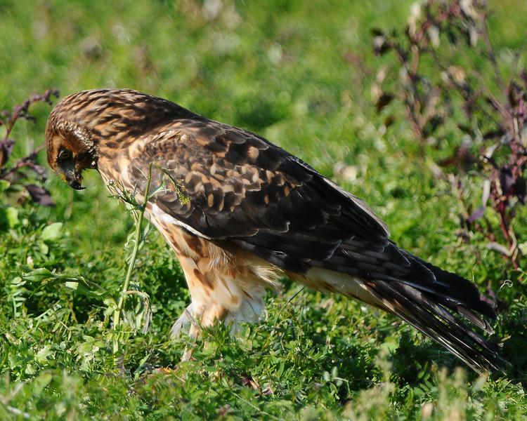 Hawk 39