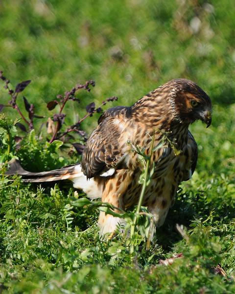 Hawk 69