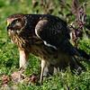 Hawk 79