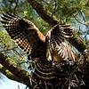 Hawk 17