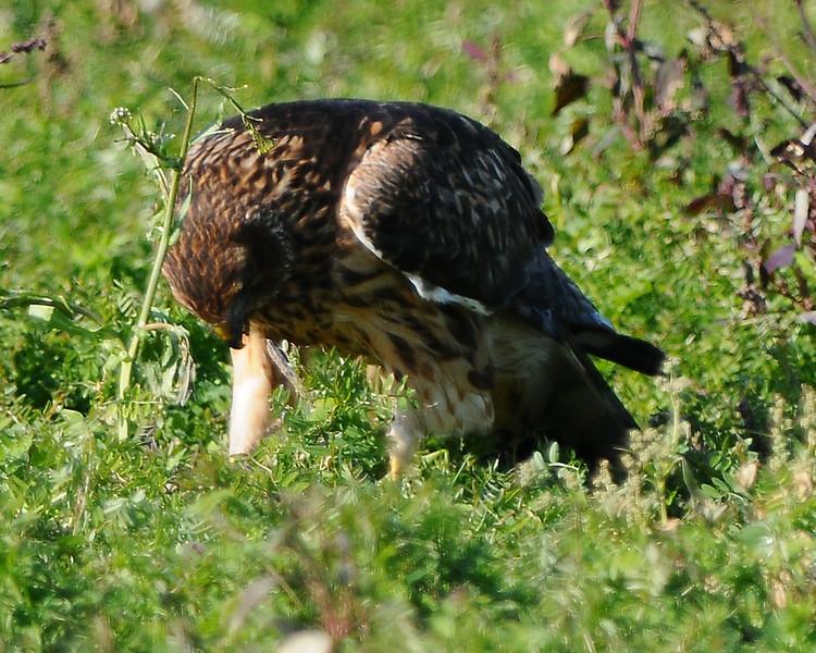 Hawk 37