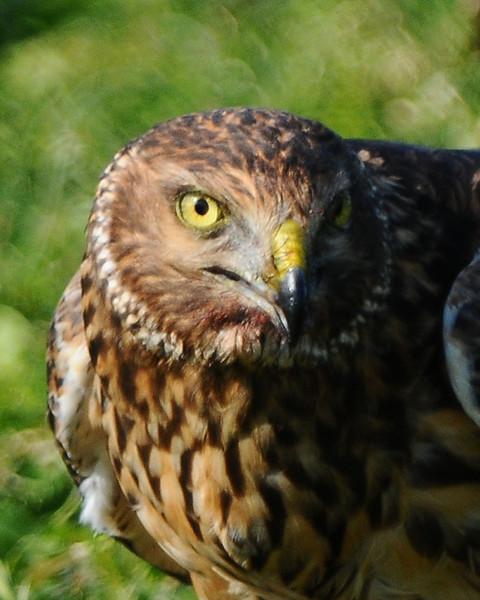 Hawk 74