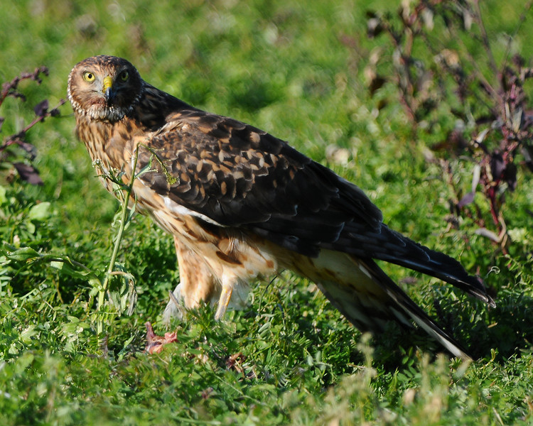 Hawk 33