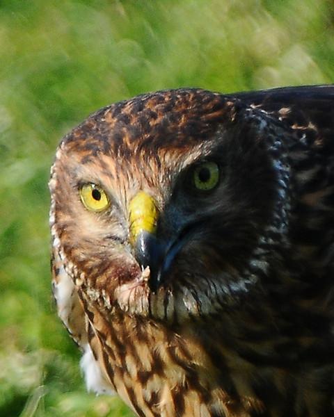 Hawk 80