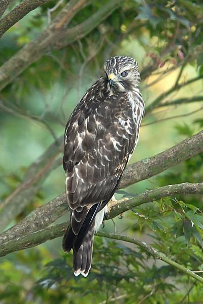 Hawk 22