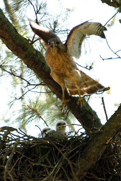 Hawk 16