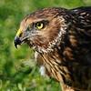Hawk 87