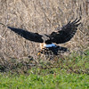 Hawk 56