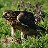Hawk 86
