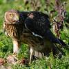 Hawk 67