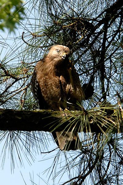 Hawk 27