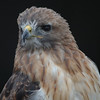 Hawk 28<br /> <br /> This picture is one of a hawk that I took at a zoo in Canada. I am not sure what type it is.