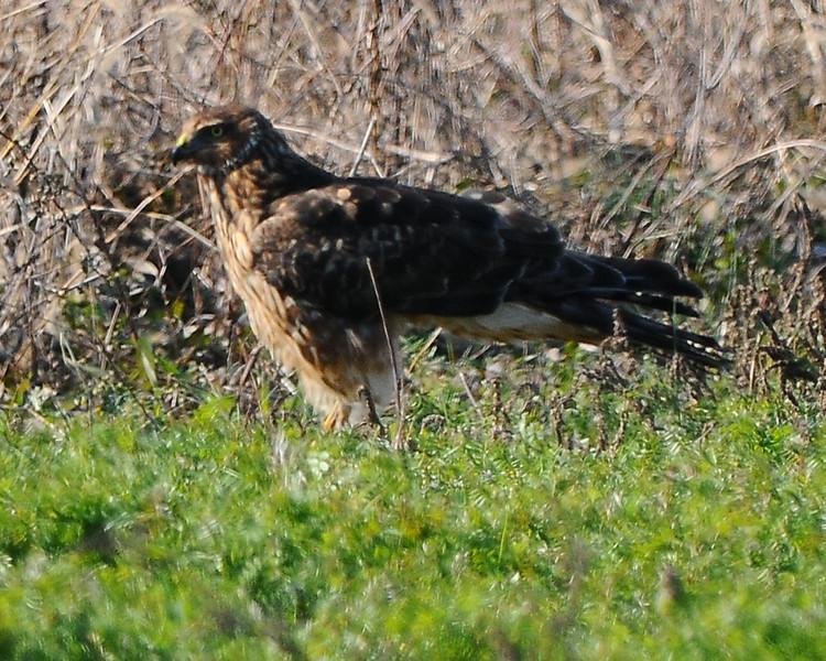 Hawk 54