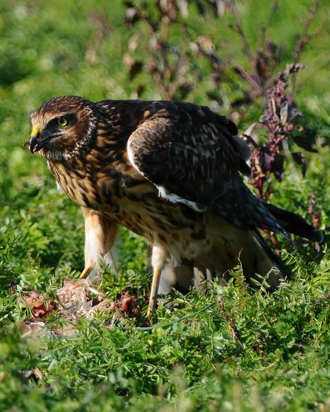 Hawk 90