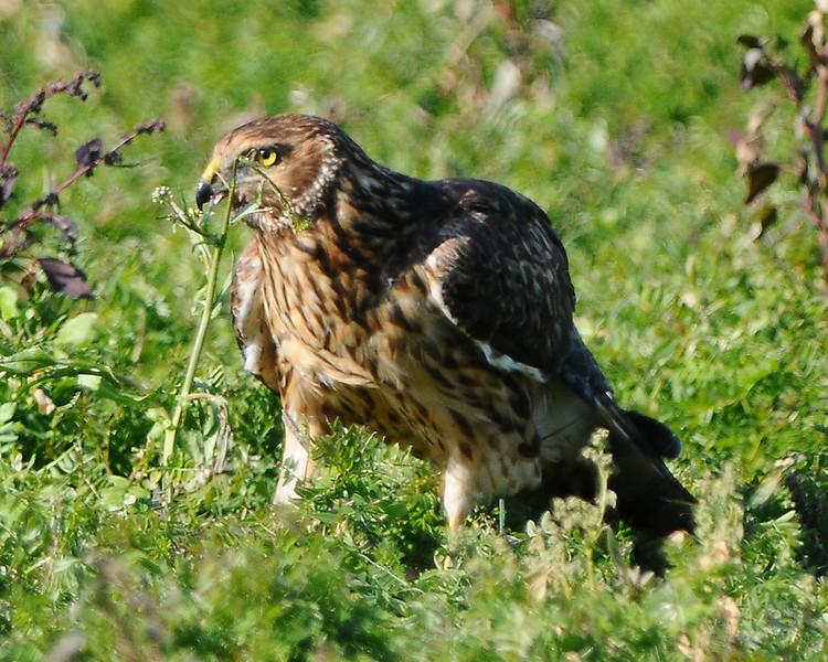 Hawk 38