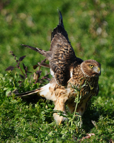 Hawk 40