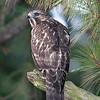 Hawk 23