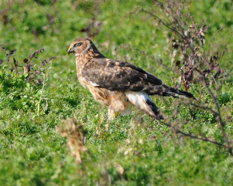Hawk 48