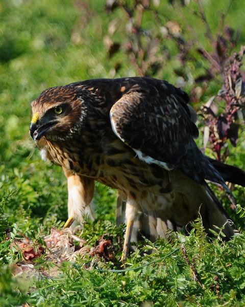 Hawk 66