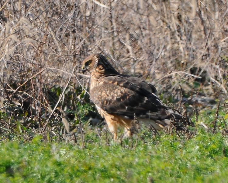 Hawk 53