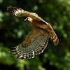 Hawk 8