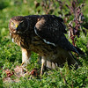 Hawk 68