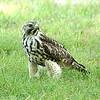 Hawk 19