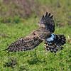Hawk 85
