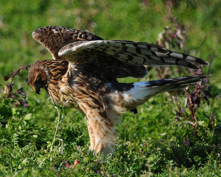 Hawk 43