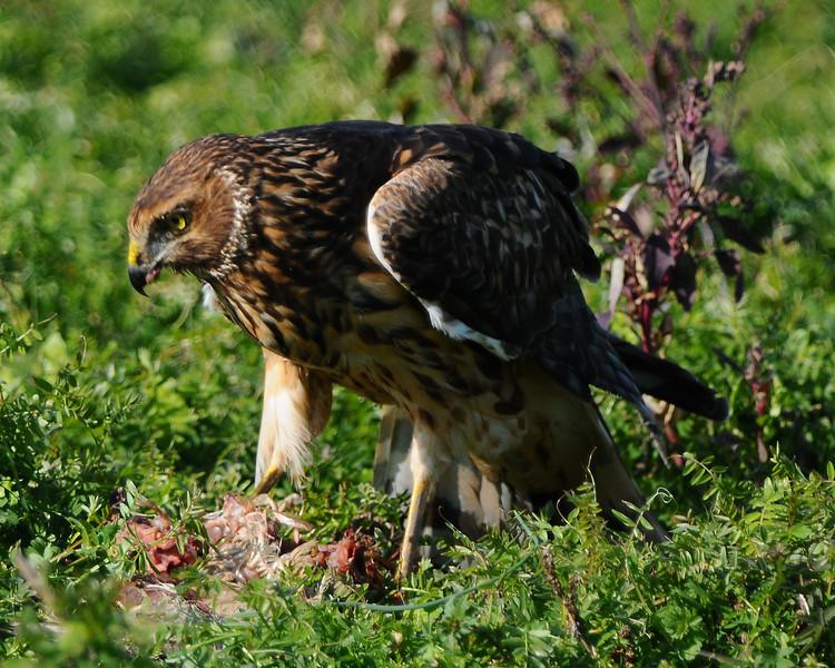 Hawk 60