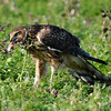 Hawk 32<br /> <br /> These next series of photos were taking on Thanksgivings Day. I had gone out to dump some trash and saw the bird across a field in front of my house. I ran back and got my camera and started working my way toward the bird. I got within about 25-30 feet from it before it flew off. So I went back to get the trash and saw that it had return. It was feeding on a dead chicken so I grapped my camera again and went back across the field. This time I was able to get even closer.<br /> <br /> The only thing that messed up these shots beside me being nervous was that stalk of weed that was in front of this beautiful bird.