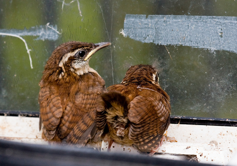 carolina wren chicks