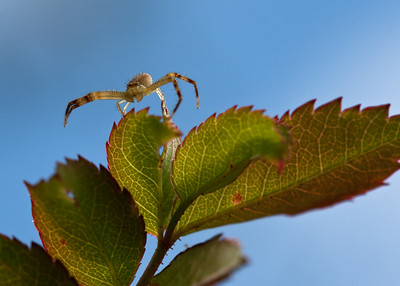 Crab spider: ready for the big jump?!