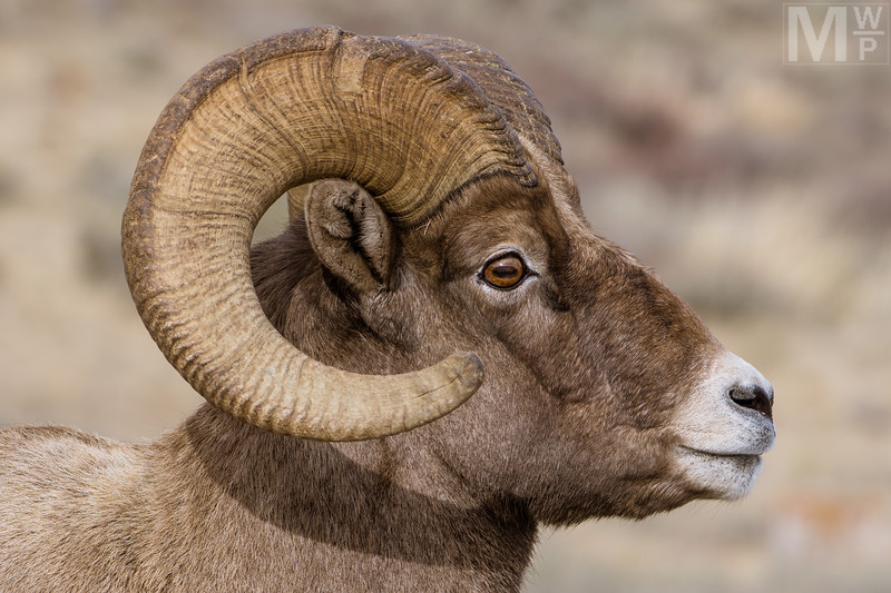 Ram in Profile