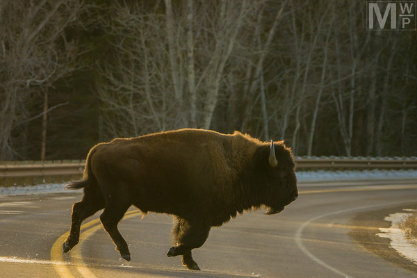 Why Did the Bison Cross the Road?